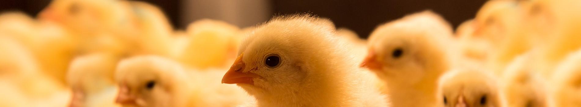 Poultry Loans